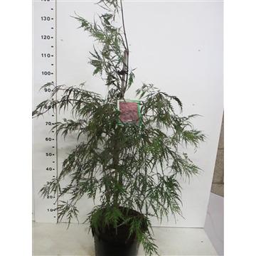 Acer palm. Inaba-shidare 60-80 P30