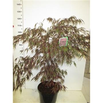 Acer palm. Inaba-shidare 80-100 P32