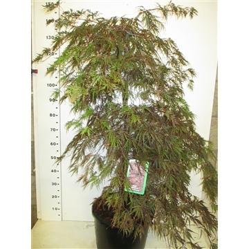 Acer palm. Inaba-shidare 100-125 P34
