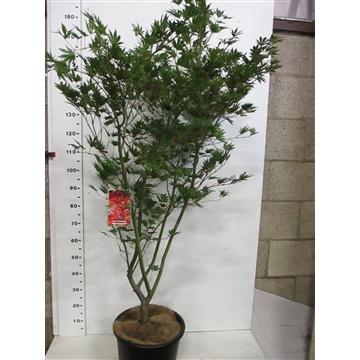 Acer palm. Masu-kagami 150-175 P34