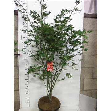 Acer palm. Masu-kagami 175-200 P38