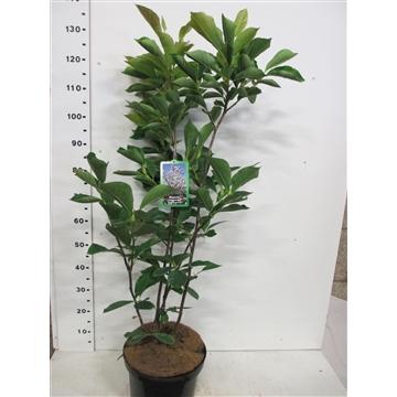 Magnolia s. Alba Superba 80-100 P28