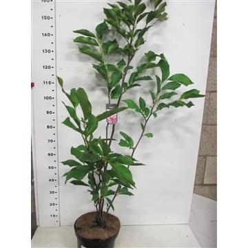 Magnolia Galaxy 100-125 P28