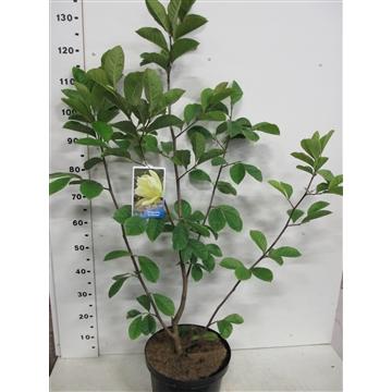 Magnolia Goldstar 80-100 P28