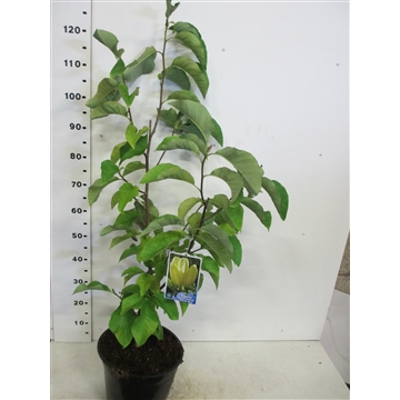 Magnolia b. Yellow Bird 80-100 P28