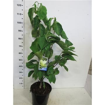 Magnolia Yellow Lantern 80-100 P28