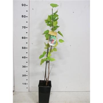 Morus nigra 50 cm P15
