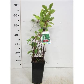 Schisandra chinensis 40 cm P15