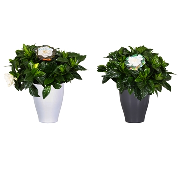 Gardenia Carly pot Wit/Antraciet