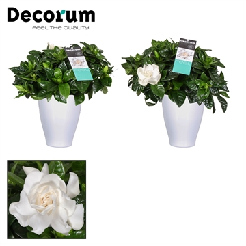 Gardenia Carly pot White