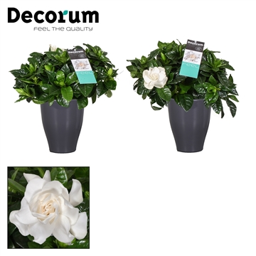 Gardenia Carly pot Antraciet