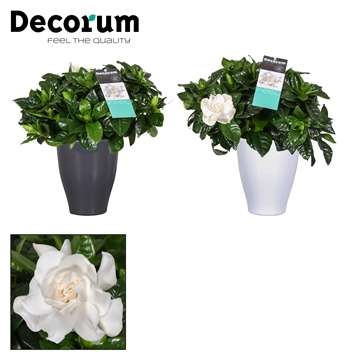 Gardenia Carly pot White/Antraciet