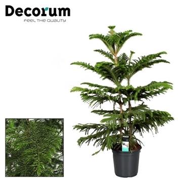 Araucaria Heterophylla (Decorum)