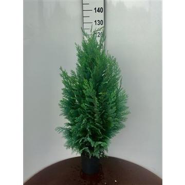 Chamaecyparis lawsoniana 'Columnaris', plantmaat 80-100