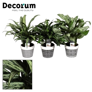 Aglaonema gemengd in pot Jill (Decorum)