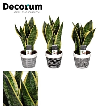 Sansevieria in pot Jill (Decorum)