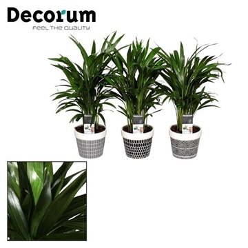 Dypsis lutescens (Areca) 30+ zaden in pot Jill (Decorum)