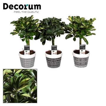 Schefflera op stam mix (Gold Capella & Nora) in pot Jill (Decorum)
