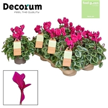 Cyclamen SS Picasso Paars FEEL GREEN Decorum