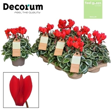 Cyclamen SS Picasso Red FEEL GREEN Decorum