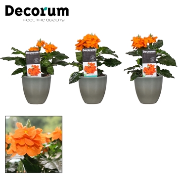 "Crossandra Julia ""Army Green"""