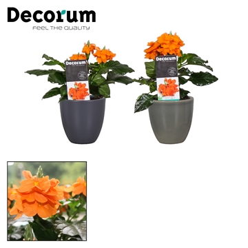 "Crossandra Julia Mix ""Antraciet, ArmyGreen"""