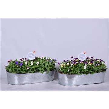 MoreLIPS® Viola Cornuta Callisto  in zinkenschaal