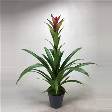 Guzmania Bicolor Green-Purple