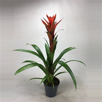 Guzmania Bicolor Green-Red