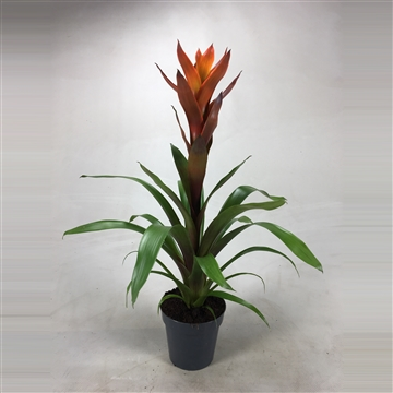 Guzmania Bicolor Green-Orange