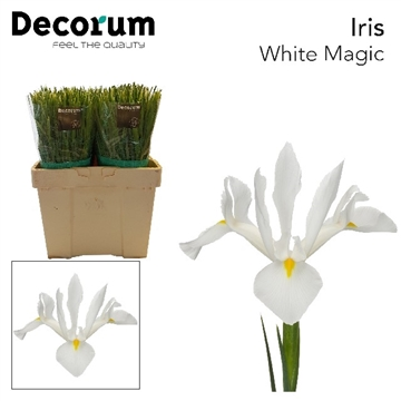 IRIS WHITE MAGIC