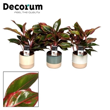 Aglaonema Crete in Stoneware Copenhagen (Decorum)