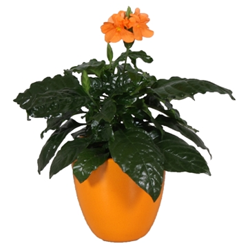Crossandra Julia pot Oranje