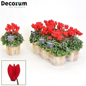 Cyclamen SS Picasso Rood Wood