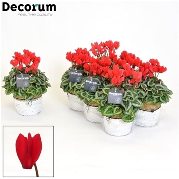Cyclamen SS Picasso Rood S. Basket