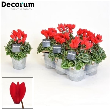Cyclamen SS Picasso Rood Zinc Louise