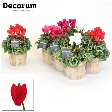 Cyclamen SS Picasso Mix Wood