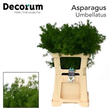 ASPARAGUS umbellatus 65cm dc