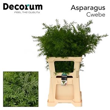 ASPARAGUS cwebe 65cm (50) dc