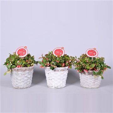 MoreLIPS® Gaultheria Big Berry in mand, P19