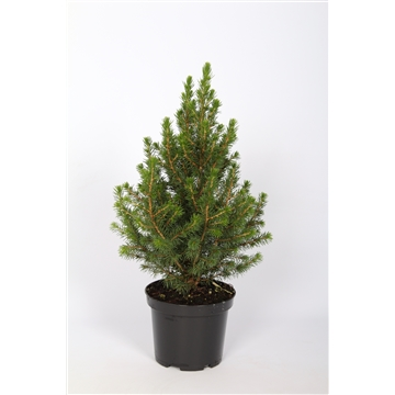 Picea Glauca Conica P15 40-50 cm. Potgekweekt!