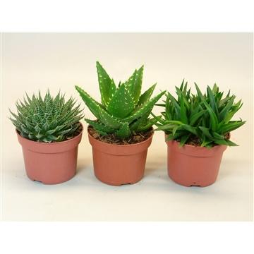 Aloe mix 3 soorten