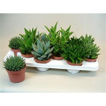 Aloe mix 6 Soorten
