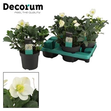 DECORUM-Helleborus Christmas Carol 15 cm XL