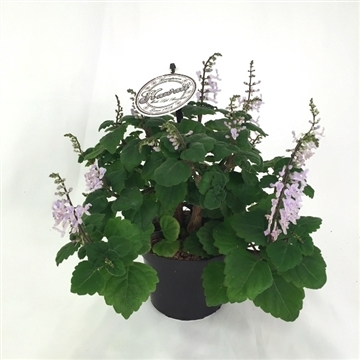 "Plectranthus Ernstii ""Bonsai Mint"" w/flowers 12 cm"