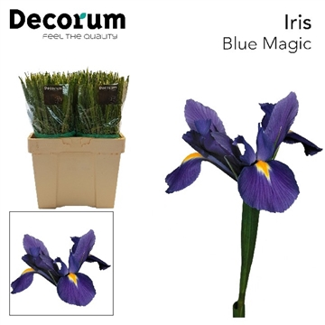 IRIS BLUE MAGIC  SP (extra color)