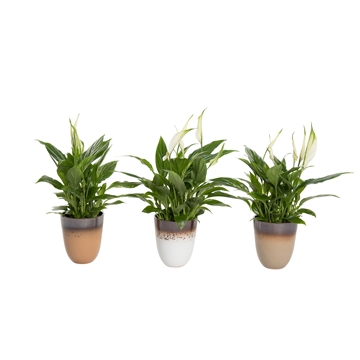 Winterbliss- Spathiphyllum 12 cm in Britt pot