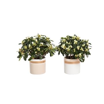 Winterbliss - Azalea 12 cm Wit in pot Joy