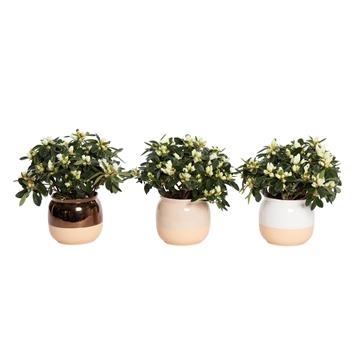 Winterbliss - Azalea 12 cm Wit in pot Isa