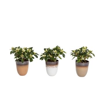 Winterbliss - Azalea 12 cm Wit in pot Britt